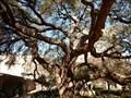 Image for Alamo Live Oak - Mission San Antonio de Valero, San Antonio, TX