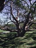 Image for Gumbo Limbo Tree - De Soto National Memorial, Bradenton, FL