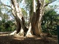 Image for LARGEST - Trunk Tree in Florida  -  Davie, FL