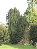 Image for Cosgrove Church Millenium Yew
