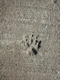 Image for Animal tracks - Guilford, NY