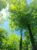 Image for Sugar Maple - Chelsea, QC