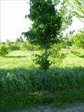 Image for TREE - Vera Elizabeth Rae Brown - Ottawa, Ontario