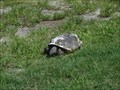 Image for Gopher Tortoise - Fort Myers Beach, Florida, USA