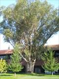 Image for Eucalyptus at the cemetery -- Rancho Cordova CA