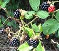 Image for Fort Howard Park, Blackberries, MD