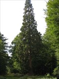 Image for Giant Sequoia - Tall Trees Trail, Rhinefield, New Forest, South Hampshire
