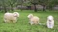 Image for Sheep - Somerset Rural Life Museum, Glastonbury, Somerset, UK