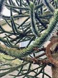 Image for Stacey Kirkpatrick dedicated Monkey Puzzle Tree - Hempstead, New York