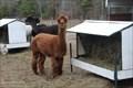 Image for Acorn Alpaca Ranch - Millis, MA