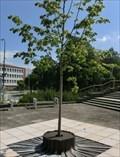 Image for The tree of liberty - Trebíc, Czech Republic