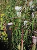 Image for Pitcher Plant Bogs at the Atlanta Botanical Garden in Atlanta, GA.