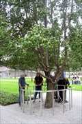 Image for Survivor Tree, New York City