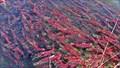Image for Adams River sockeye salmon run near Kamloops draws crowds