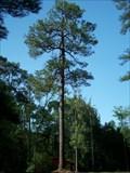 Image for Mineral Springs Longleaf Pine