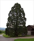 Image for Sequoiadendron Giganteum at Kymshof - Möhlin, AG, Switzerland
