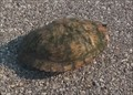Image for Red-Eared Slider Crossing - Oklahoma City, OK