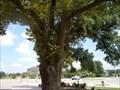 Image for American Elm - Oklahoma City, OK
