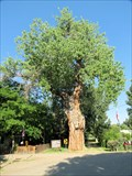 Image for Ute Council Tree (Cottonwood) - Delta, CO