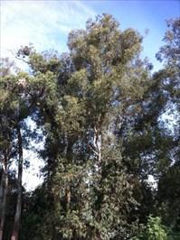 Eucalyptus Tree, Vasona Park, Los Gatos, CA