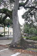 Image for Omnivorous Live Oak -- New Orleans LA
