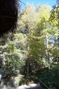 Image for Dawn Redwood at Wild Animal Park  -  Escondido, CA