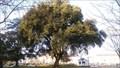 Image for Chêne vert du parc de la Perraudère  - Saint-Cyr sur Loire, Centre