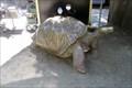 Image for Last  -  Geochelone elephantopus abingdoni -  San Diego, CA