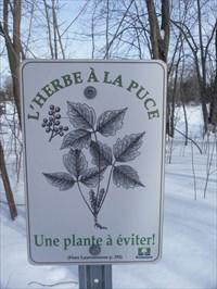 Panneau de métal avec image de Herbe à la puce.   Metal panel with image of Poison Ivy.