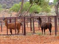 Image for Camels Australia - Stuarts Well, Northern Territory