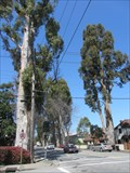 Image for Howard-Ralston Eucalyptus Tree Rows - Burligame, CA