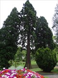 Image for Riesen-Marnmutbaum im Park von Schloss Drachenburg - Königswinter - NRW - Germany