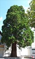 Image for Kalifornischer Mammutbaum (Bossardstraße) Ahrweiler - RLP/ Germany