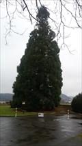 Image for Mammutbaum im Kurpark - Bad Breisig - RLP - Germany