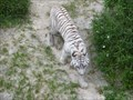 Image for Tigers at Busch Gardens - Tampa, FL.