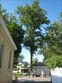 Image for Millennium Tree - Berkeley Springs, West Virginia