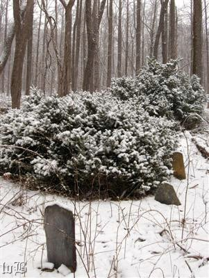 Boxwoods and fieldstones mark another long-forgotten cemetery deep in the snowy woods.