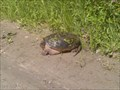 Image for Passage de tortues serpentines / Common Snapping Turtle Crossing - (Cheney) Ontario