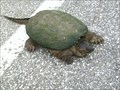 Image for Turtle crossing near Corry PA.