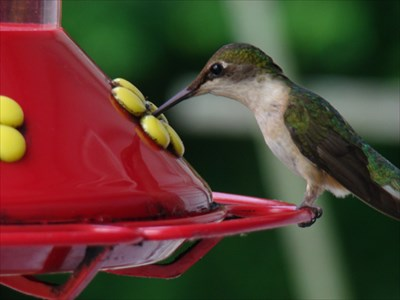 Hummingbirds flock to this feeder right outside the kitchen window.