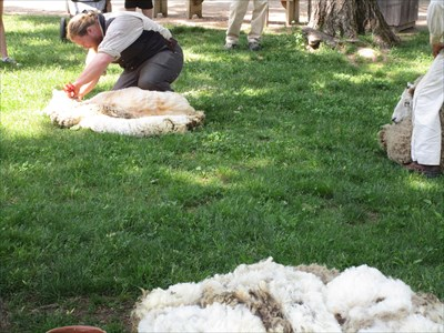A sheep being sheared on the village common. Look at all the wool they make!!