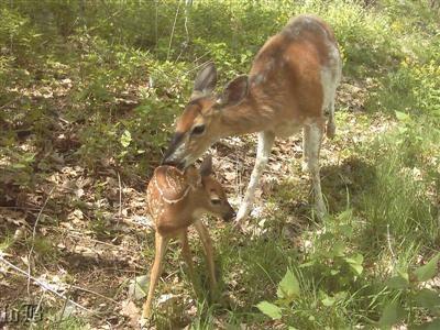 Dottie, a favorite deer seen around Skyland, with one of her newborn twins.