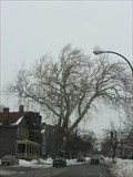 Image for Oldest Tree in Buffalo