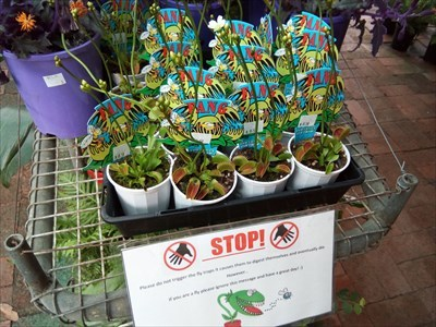 Pots of Venus Fly Traps for sale.
