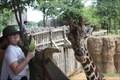 Image for Feed the Giraffes -- Dallas Zoo -- Dallas TX