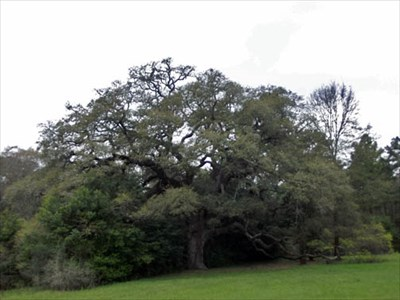 Hanging tree coldspring tx historic trees on waymarking sciox Choice Image