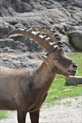 Image for Nourrir les bouquetins (alpine ibex) - Omega -Montebello, Qc