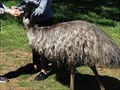 Image for Feeding kangaroos, emus, wallabies, potoroos and waterfowl  - Cleland Wildlife Park - SA - Australia