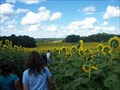 Image for Veterans Memorial Park - Sunflower Maze - Camillus, N.Y.