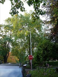 To show how tall and old it is. Its the tree behind the stop sign and lightpost